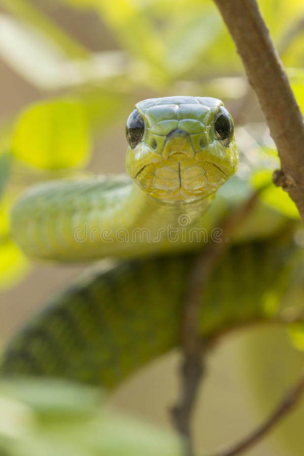 Download Male Boomslang Snake, (Dispholidus Typus), South Africa Stock Photo - Image of adult, boomslang: 28680032