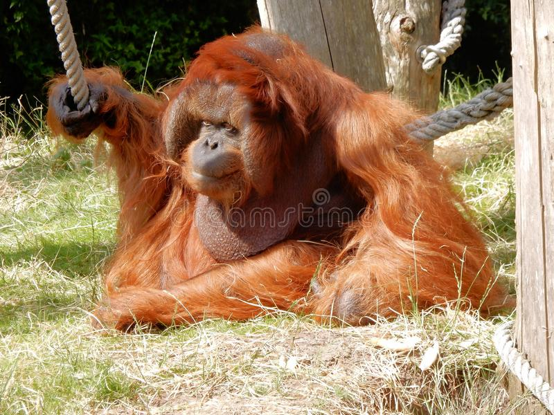 Male Bornean orangutan with orange reddish long hair, big wang lobes in Zoo. Male Bornean orangutan with orange reddish long hair, big wang lobes, a throat pouch royalty free stock photos