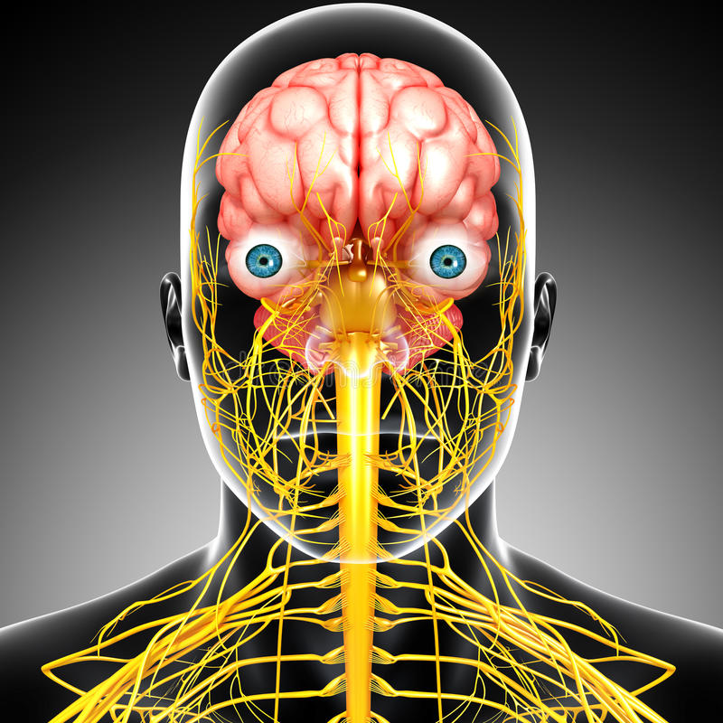 Download Male Brain Anatomy With Nervous System Stock Illustration - Image: 26689054