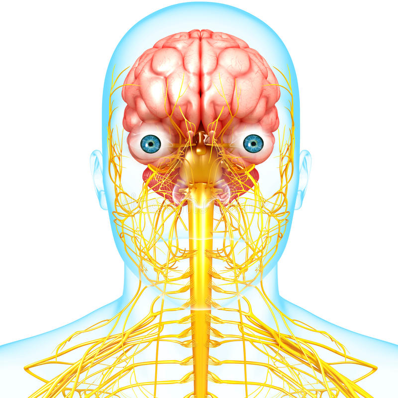 Male Brain Anatomy With Nervous System Stock Illustration ...