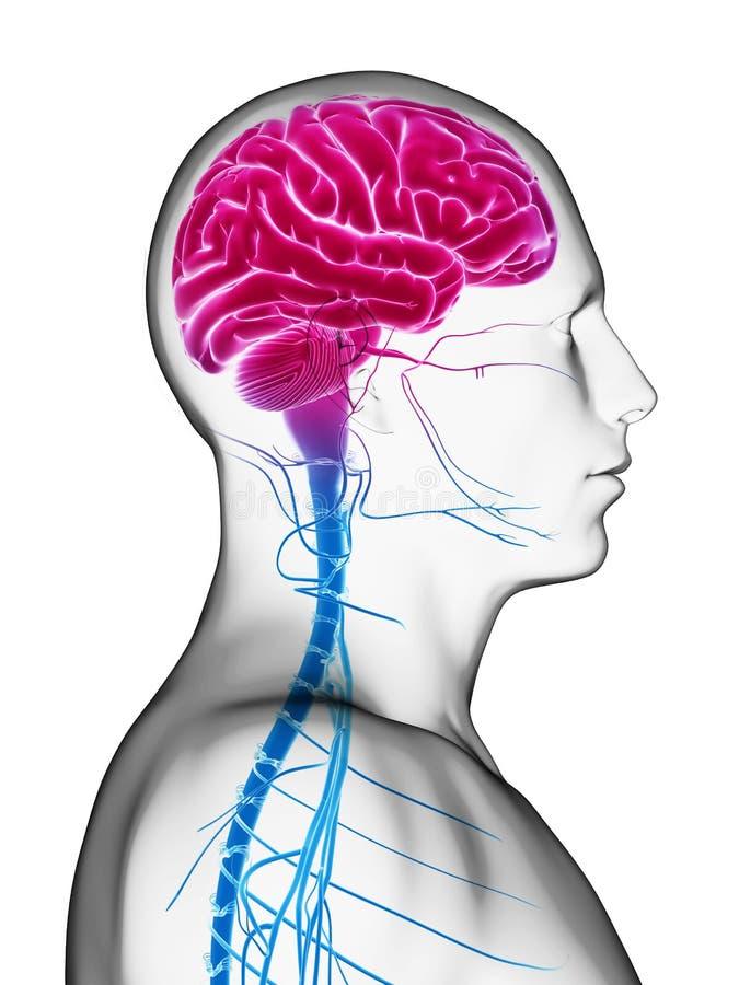 Download Male brain stock illustration. Image of brainpan, human - 30723623