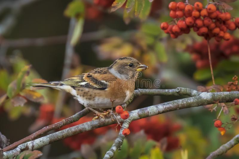 Male Brambling bird, Fringilla montifringilla, in winter plumage feeding berries stock photos