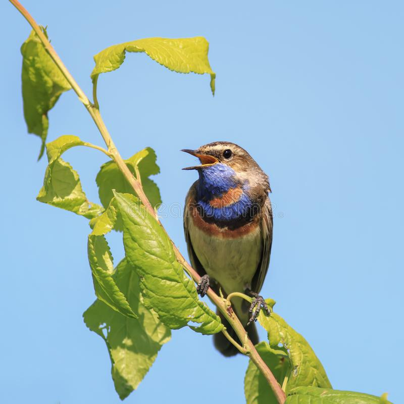 Download Male Is A Bright Bird, The Bluethroat Sings The Song In The Spr  Stock