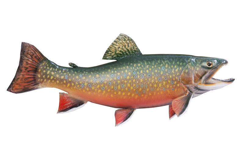 Male brook or speckled trout in spawning colors is. A male brook or speckled trout in spawning colors isolated on a white background royalty free stock image