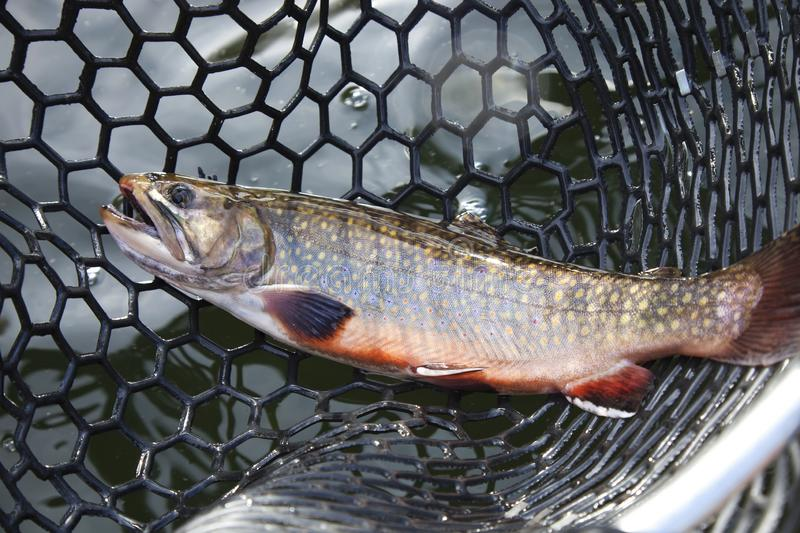 Male brook trout in a landing net royalty free stock images