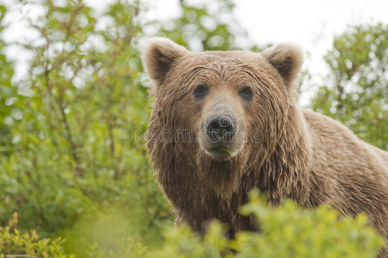 Download Male Brown Bear Royalty Free Stock Photography - Image: 13692927