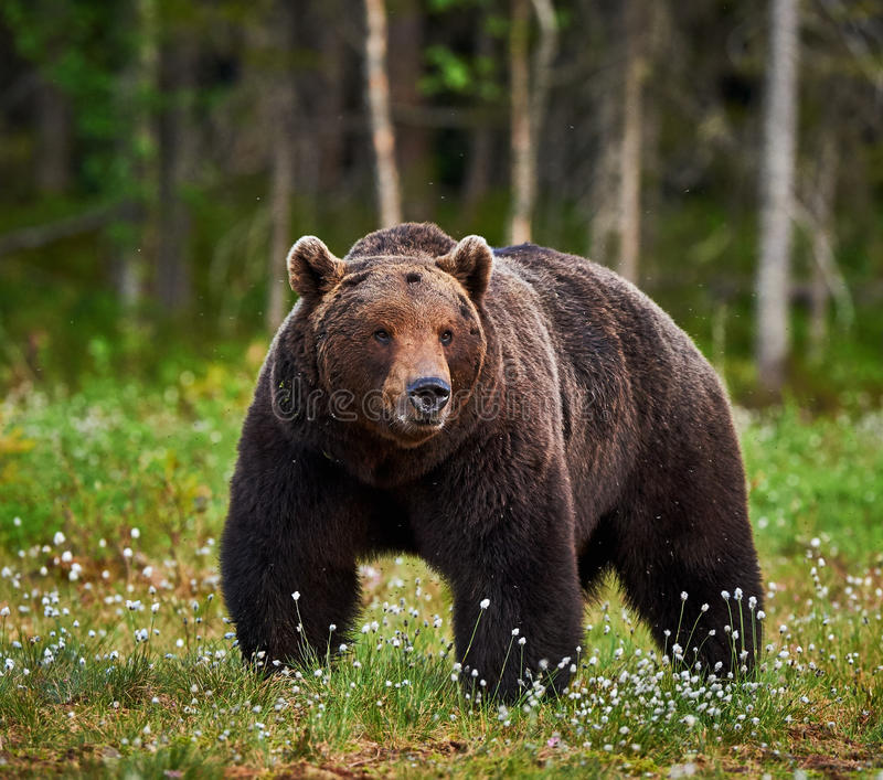Male brown bear. Big male brown bear walking in the finnish taiga royalty free stock photography