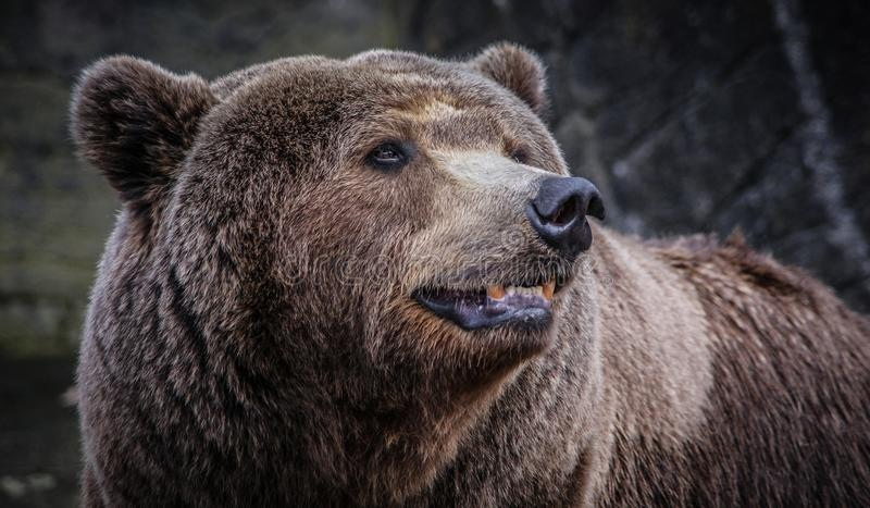 Male brown bear. Closeup of a large male brown bear with his head turned in profile stock image