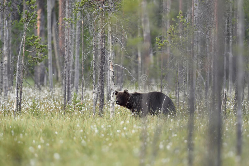 Male brown bear in forest landscape royalty free stock photos