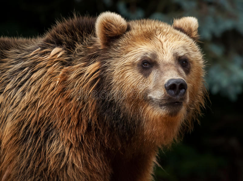 Male brown bear looks. To the camera royalty free stock photos
