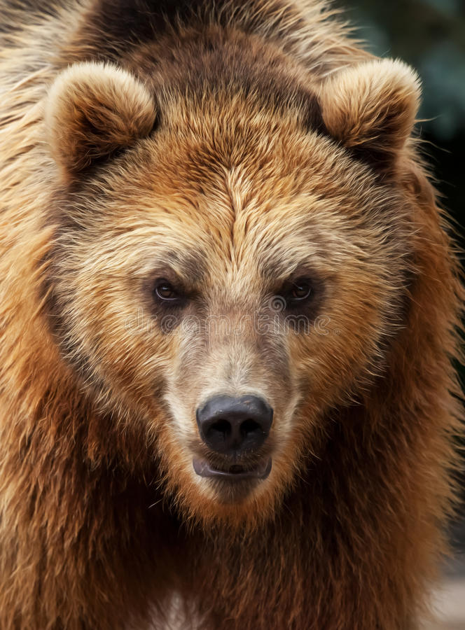 Male brown bear looks to the camera. In portrait stock photography