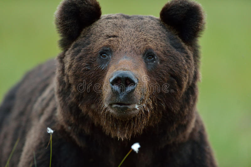 Male brown bear stock photography