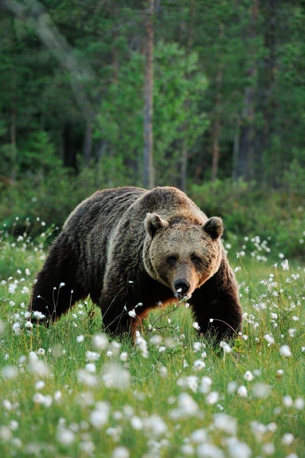 Male brown bear walking royalty free stock image