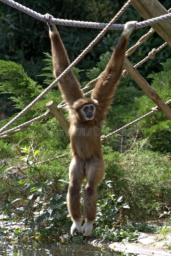 Download Male Brown Gibbon Royalty Free Stock Photos - Image: 1492068