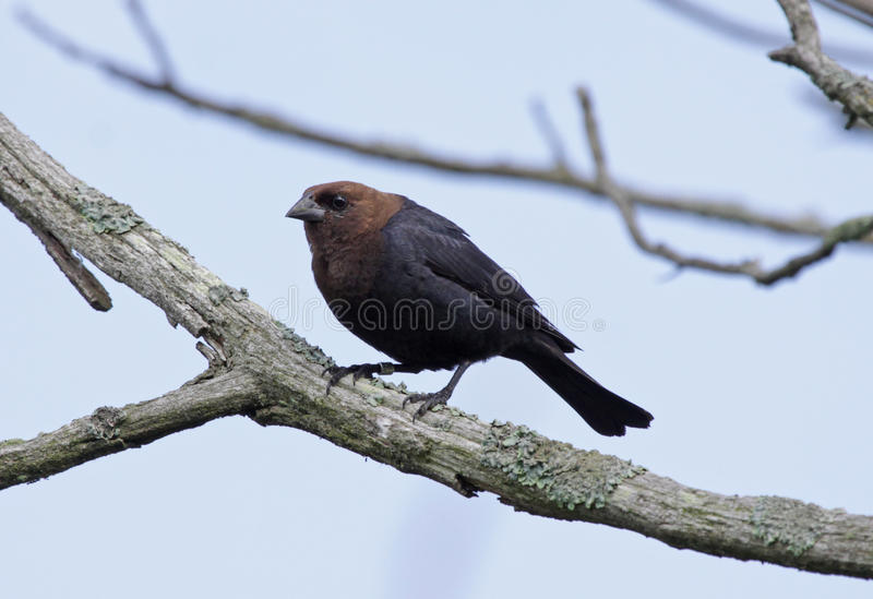 Male Brown-headed Cowbird Royalty Free Stock Photography