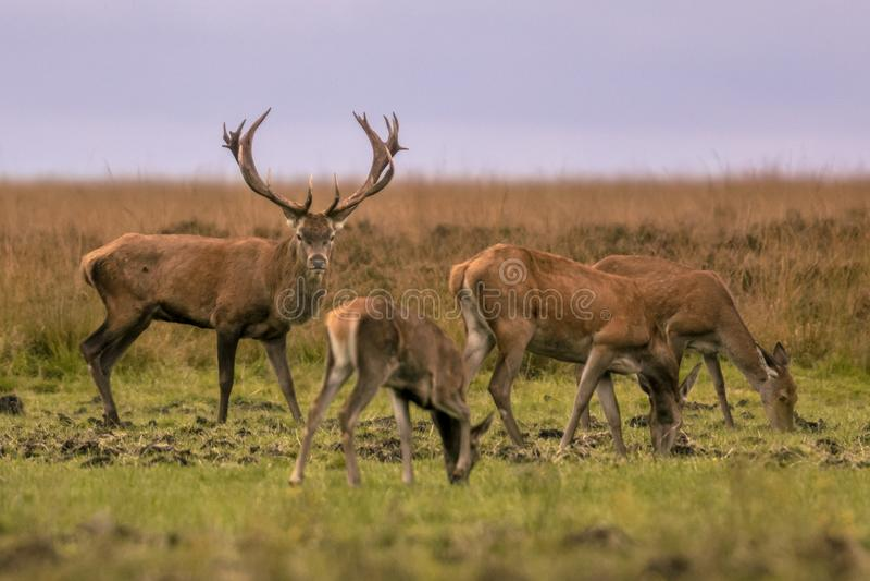 Male buck deer guarding hinds stock image