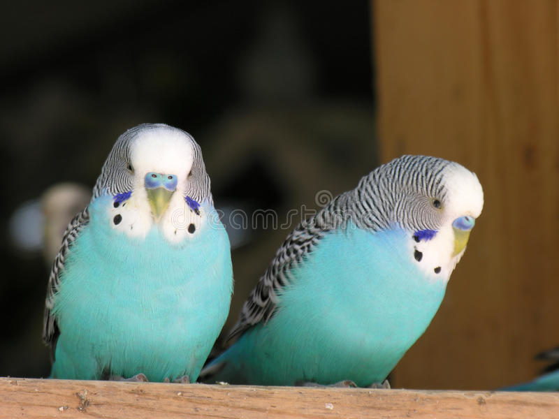 Male Budgies royalty free stock photo