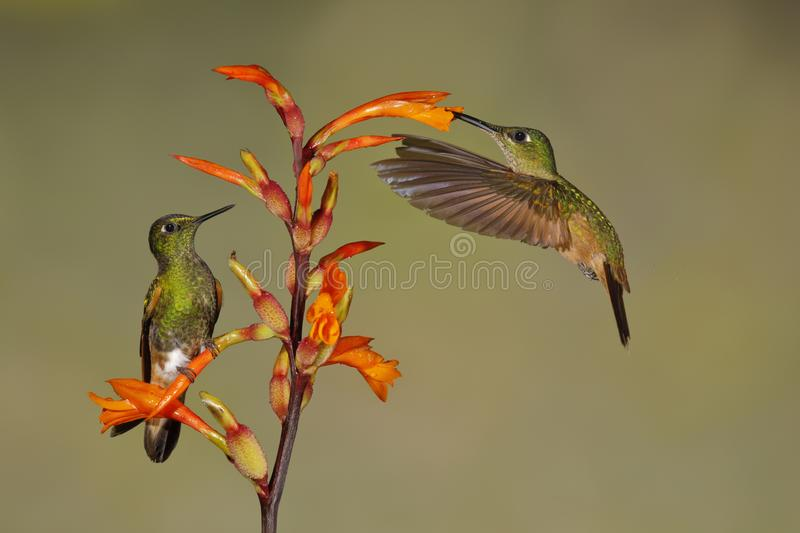 A male Buff-tailed Coronets is perched on a Heliconia flower while the female feeds in flight - Ecuador stock photography