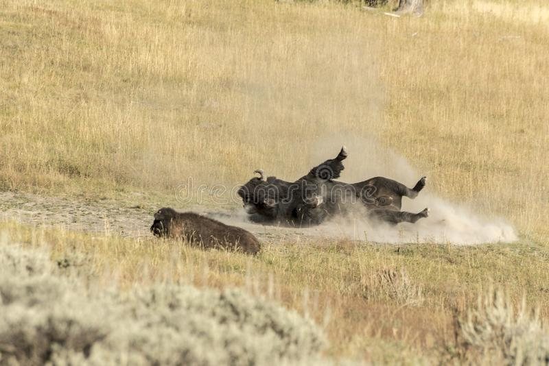 Male Buffalo Bison in Yellowstone National Park. Buffalo Bison having a dust bath in Yellowstone National Park at the parking are near the Harlequin Lake Trail royalty free stock image
