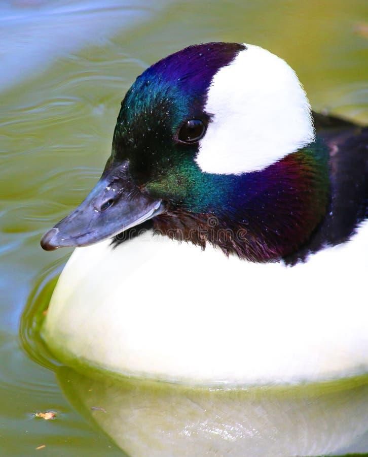 Male Bufflehead Diving Duck Colorful Ducks Stock Image ...
