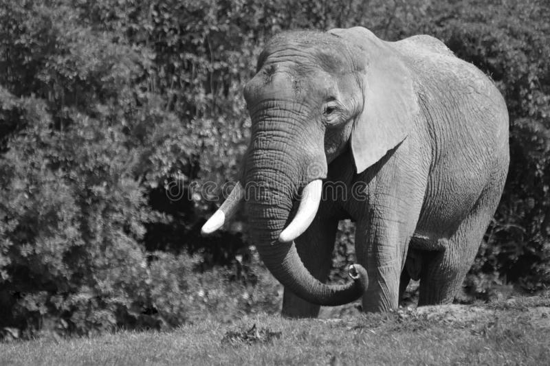 African Elephant Black and White Portrait. A Male Bull African Elephant Loxodonta africana standing alone in the bush royalty free stock photos