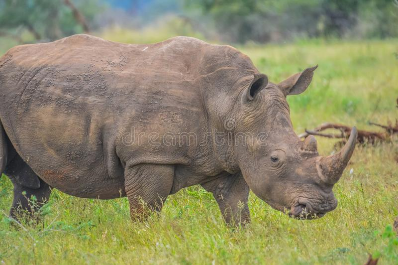 Male bull Cute White Rhino or Rhinoceros in a game reserve in So. Male bull Cute White Rhino or Rhinoceros in a nature wild reserve in South Africa royalty free stock photography