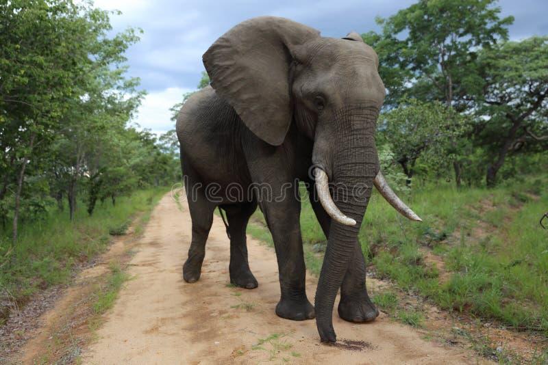 Male Bull Elephant in Hwage National Park, Zimbabwe, Elephant, Tusks, Elephant`s Eye Lodge royalty free stock images