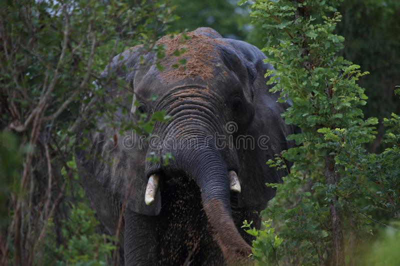 Male Bull Elephant Throwing Mud in Hwage National Park, Zimbabwe, Elephant, Tusks, Elephant`s Eye Lodge. February 2016. Mud Sun Lotion for Sun Protection. Herd stock image
