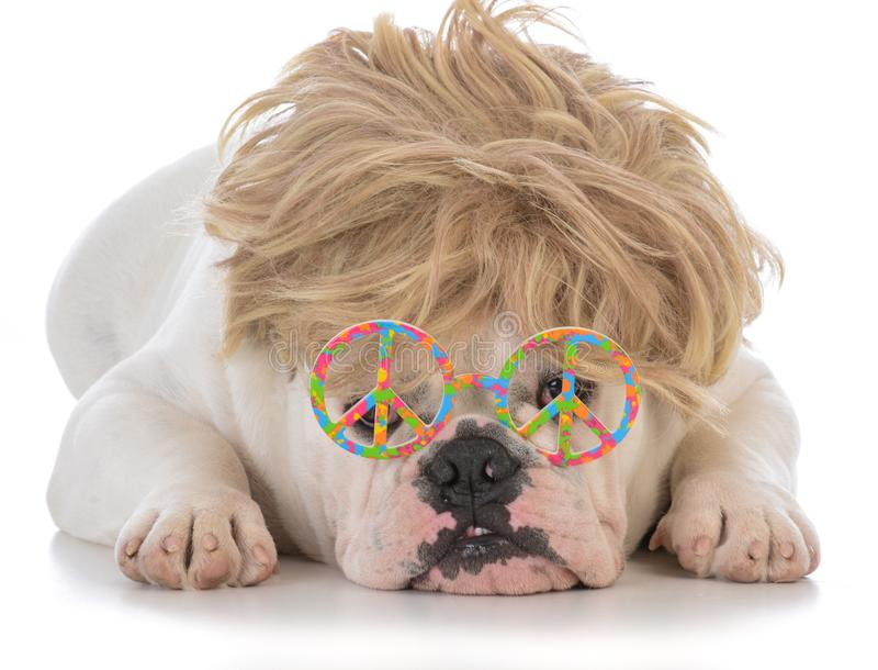 Male bulldog wearing wig and peace glasses. Male bulldog wearing blonde wig and peace symbol glasses on white background royalty free stock photography