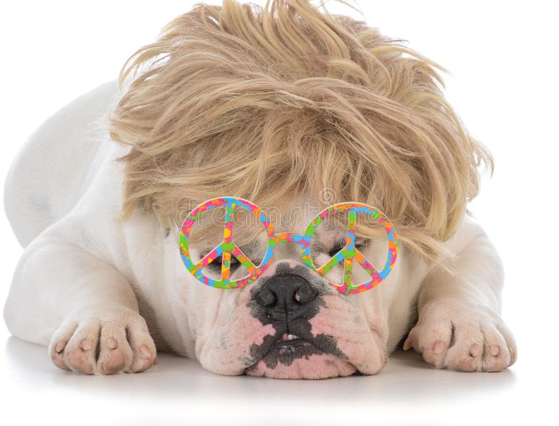 Male bulldog wearing wig and peace glasses. Male bulldog wearing blonde wig and peace symbol glasses on white background stock photos