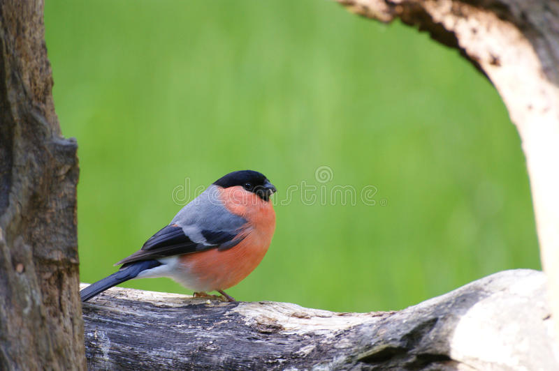 Male Bullfinch perched on log. Yorkshire, UK stock image