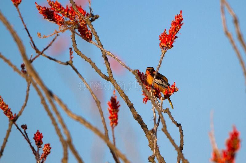 Male Bullock`s Oriole in a flowering Ocotillo in spring in the Sonoran Desert of southern Arizona royalty free stock photo