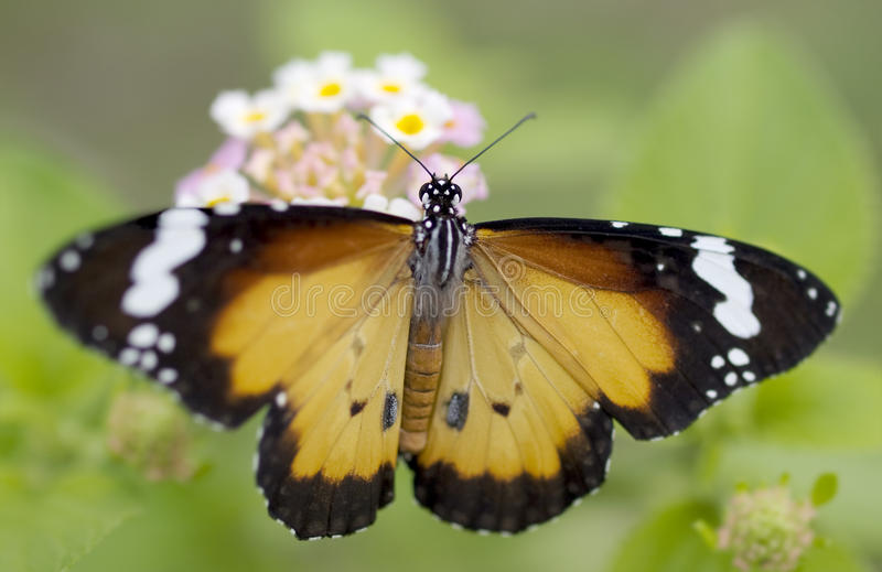 Male butterfly Plain Tiger Danaus chrysippus royalty free stock image