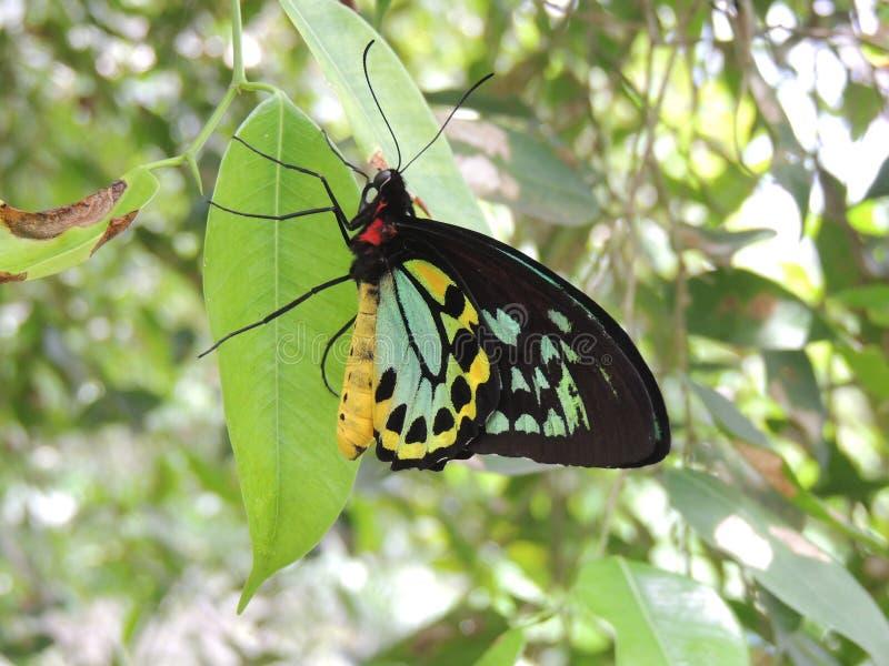 Male Cairns birdwing Ornithoptera euphorion. In Kuranda stock images