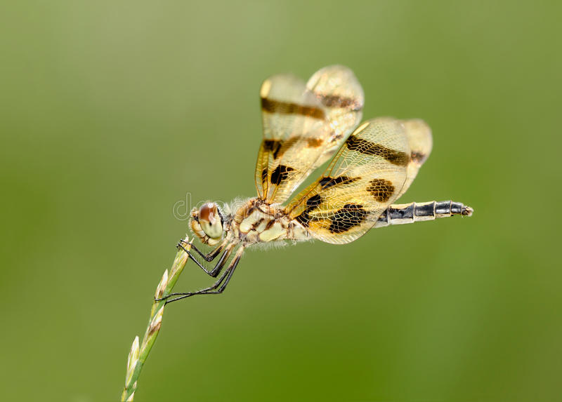 Male Calico Pennant Dragonfly royalty free stock photo
