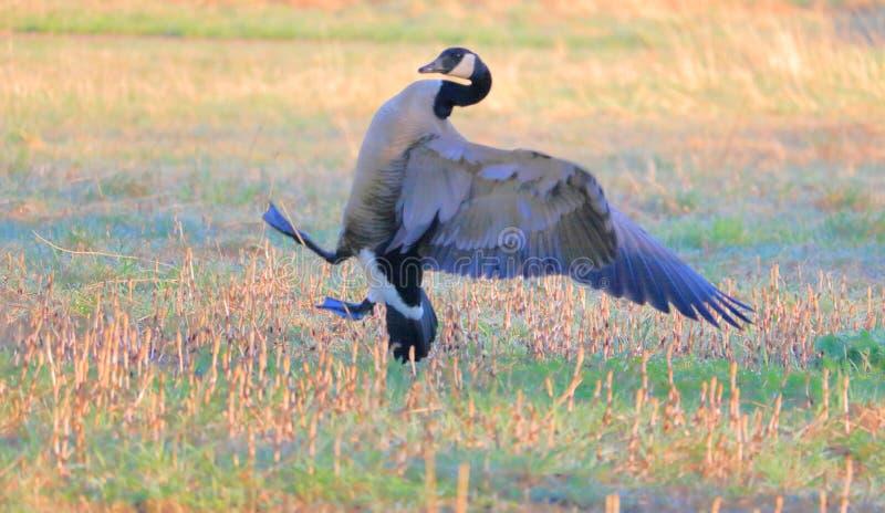 Male Canada Goose Behavior stock photo