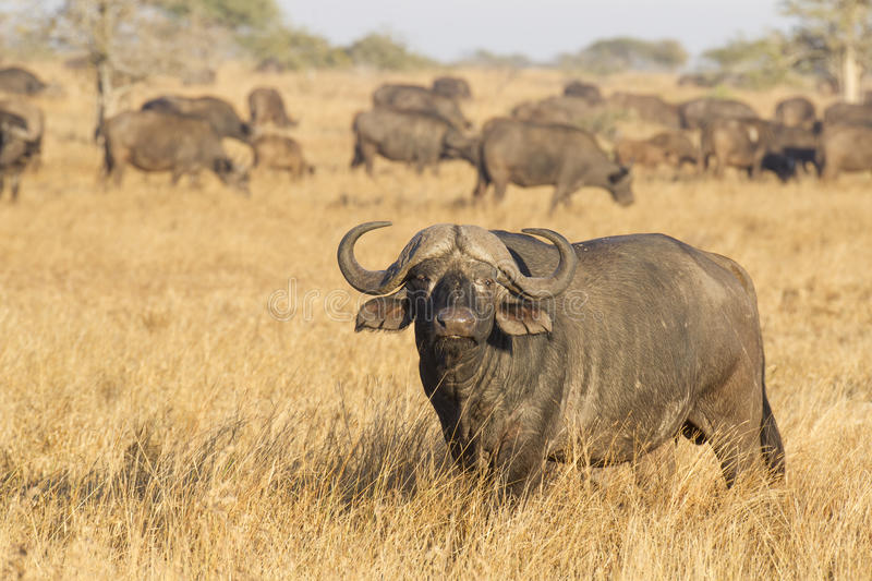 A Male Cape Buffalo with herd, South Africa royalty free stock image