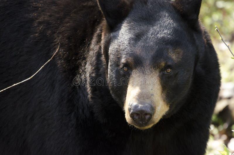 Captive Black Bear, Bear Hollow Zoo, Athens Georgia USA. Male captive Black Bear, Ursus americanus, came to Bear Hollow Zoo as an orphan in 2006. Bear Hollow Zoo royalty free stock image