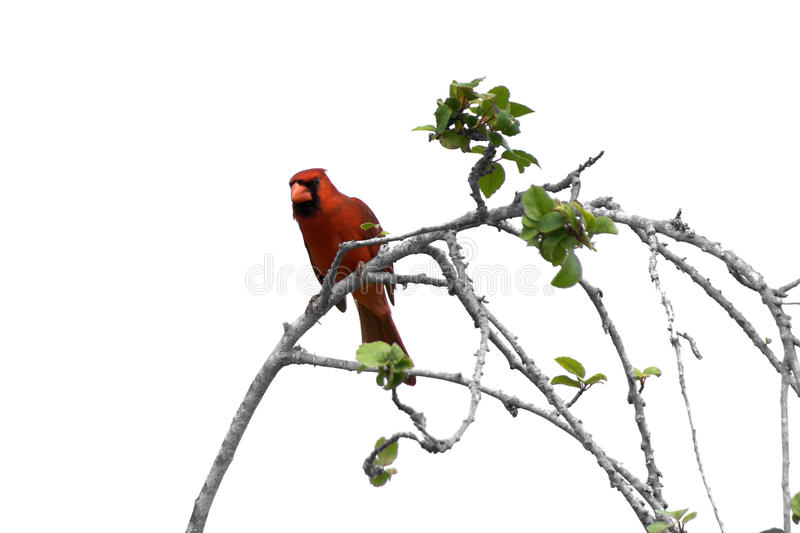 Male Cardinal On Branch Stock Photos