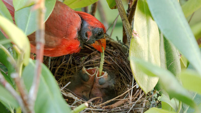 Male cardinal feeding worn to babies in nest stock image