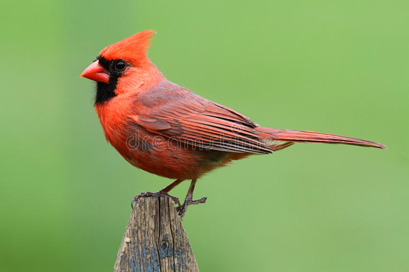 Male Cardinal On A Fence. Male Northern Cardinal (cardinalis cardinalis) on a fence with a green background