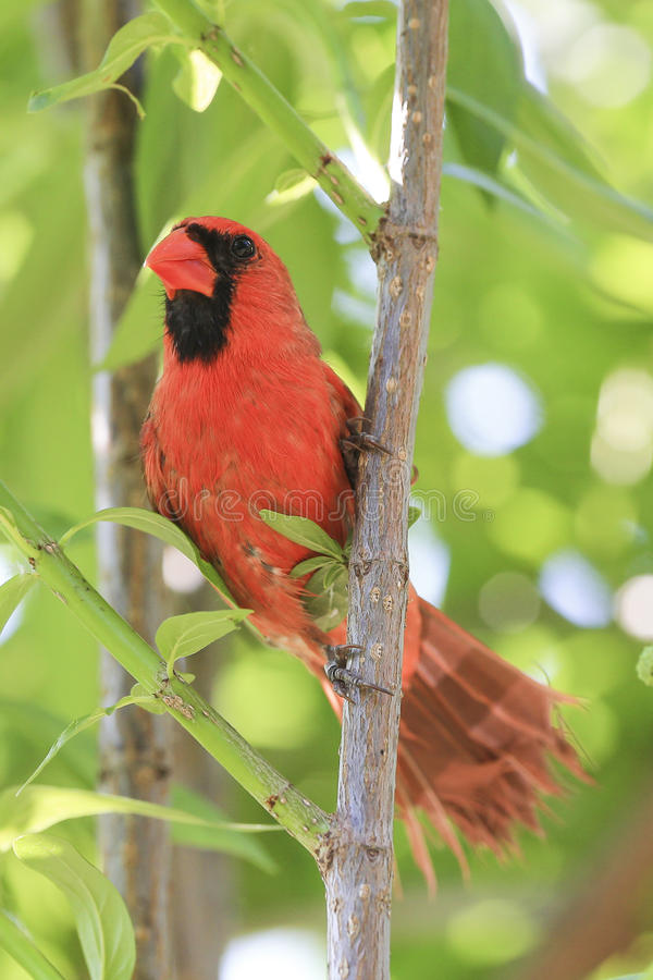 Male cardinal royalty free stock image