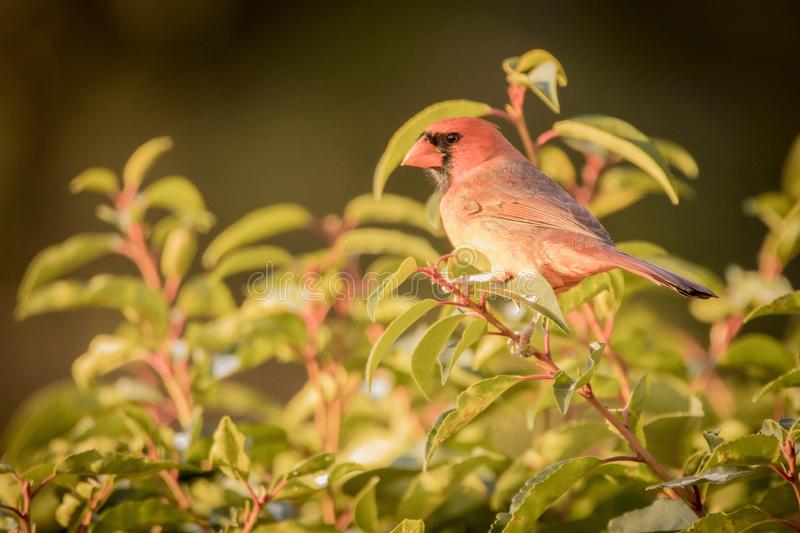 Red cardinal on red branch with green leaves stock images