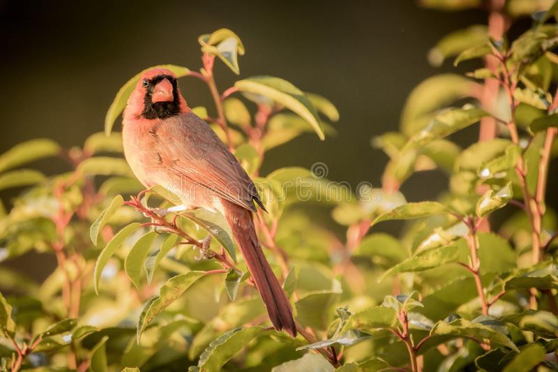 Red cardinal on red branch with green leaves stock photos