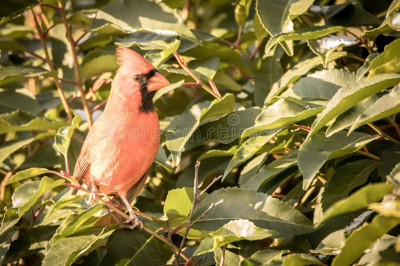Red cardinal on red branch with green leaves snow royalty free stock image