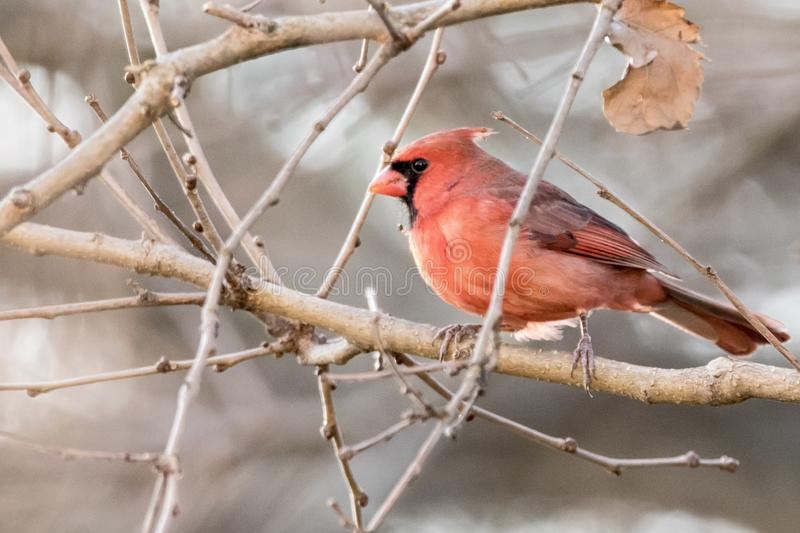 Red cardinal on tree branch with snow royalty free stock image