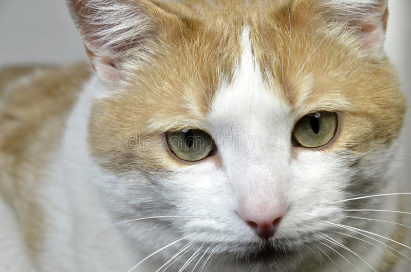 Download Male cat face stock photo. Image of brown, head, tabby - 26755780