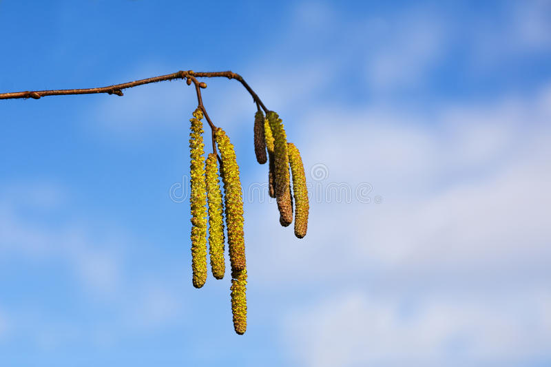 male catkins of hazel against the blue sky, concept pollen allergy in springtime, copy space, royalty free stock images