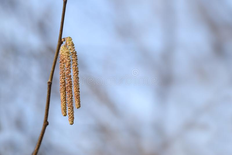 Male catkins of hazel Corylus avellana against a blue sky back royalty free stock images