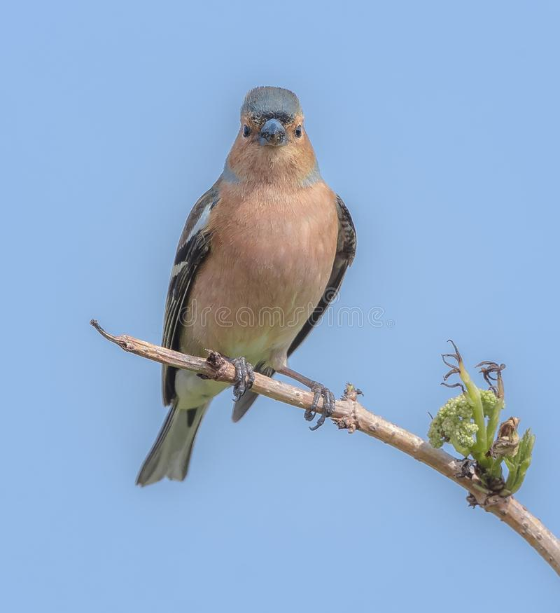 A male chaffinch keeping an eye out royalty free stock image